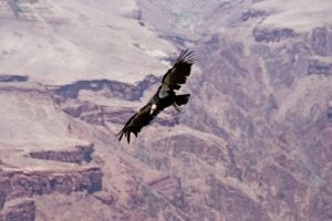 California condor births mark soaring comeback after numbers dwindled to 22