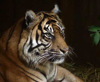 Tiger populations in India have doubled to nearly 3,000 in last 15 years