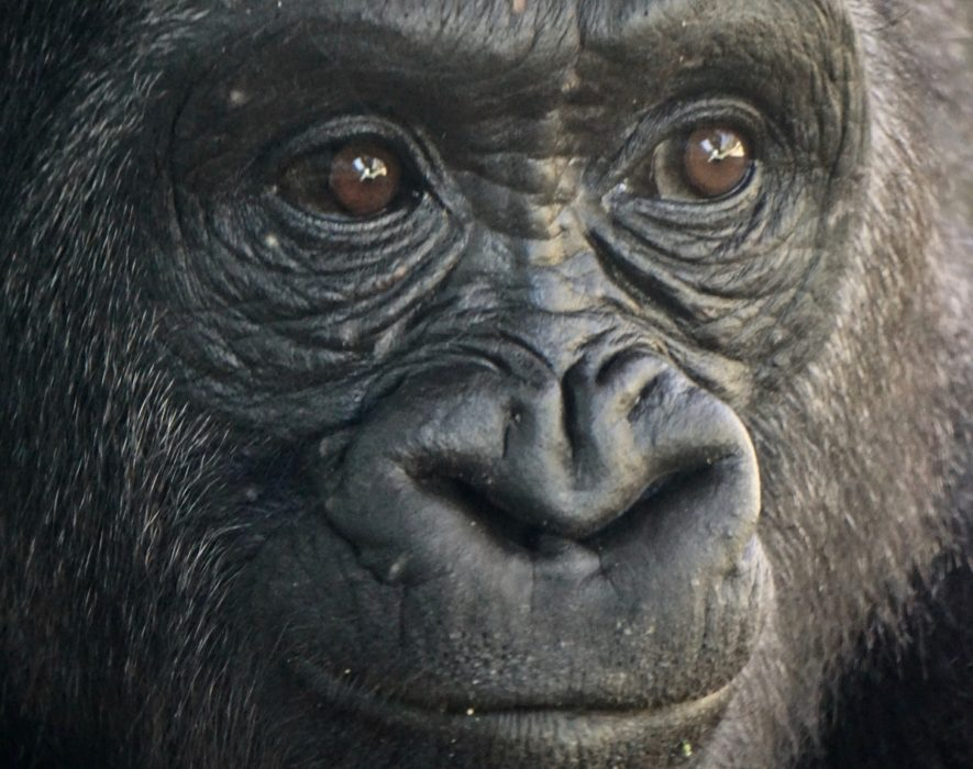 Endangered mountain gorilla population continues to rise