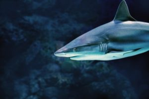 Canada passes legislation ending the import and export of shark fins