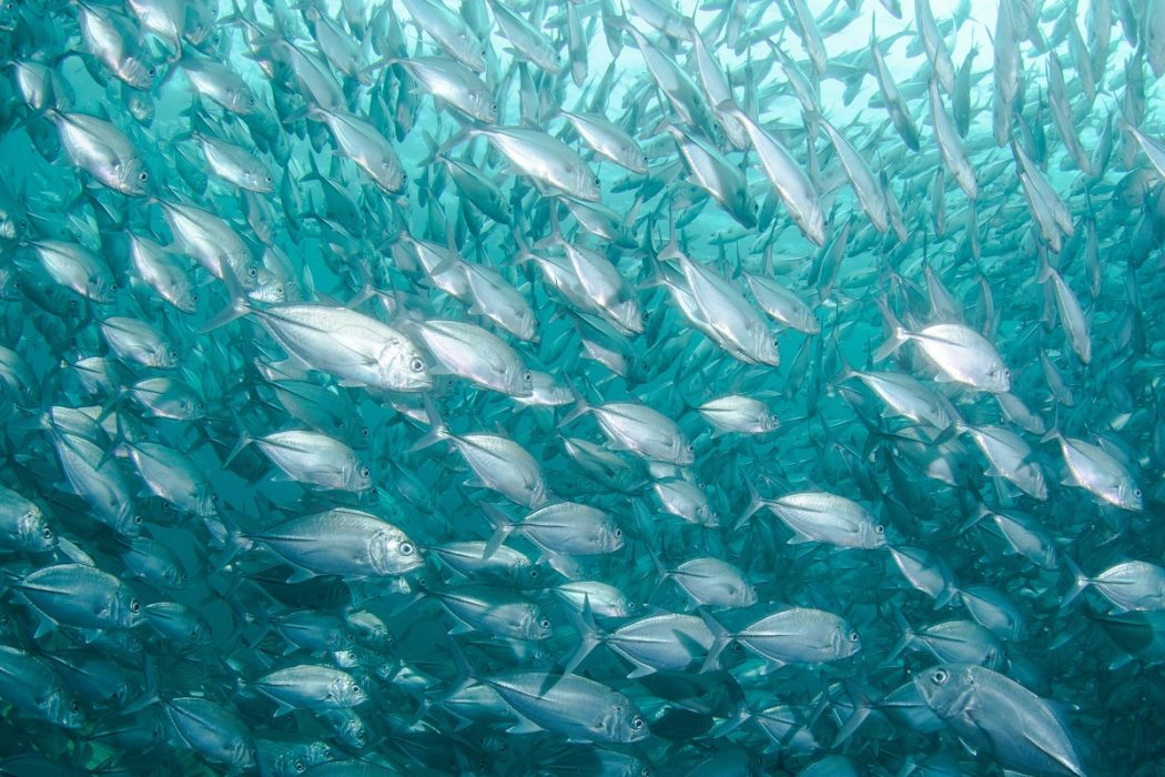 Fisheries management is effectively rebuilding fish stocks around the world