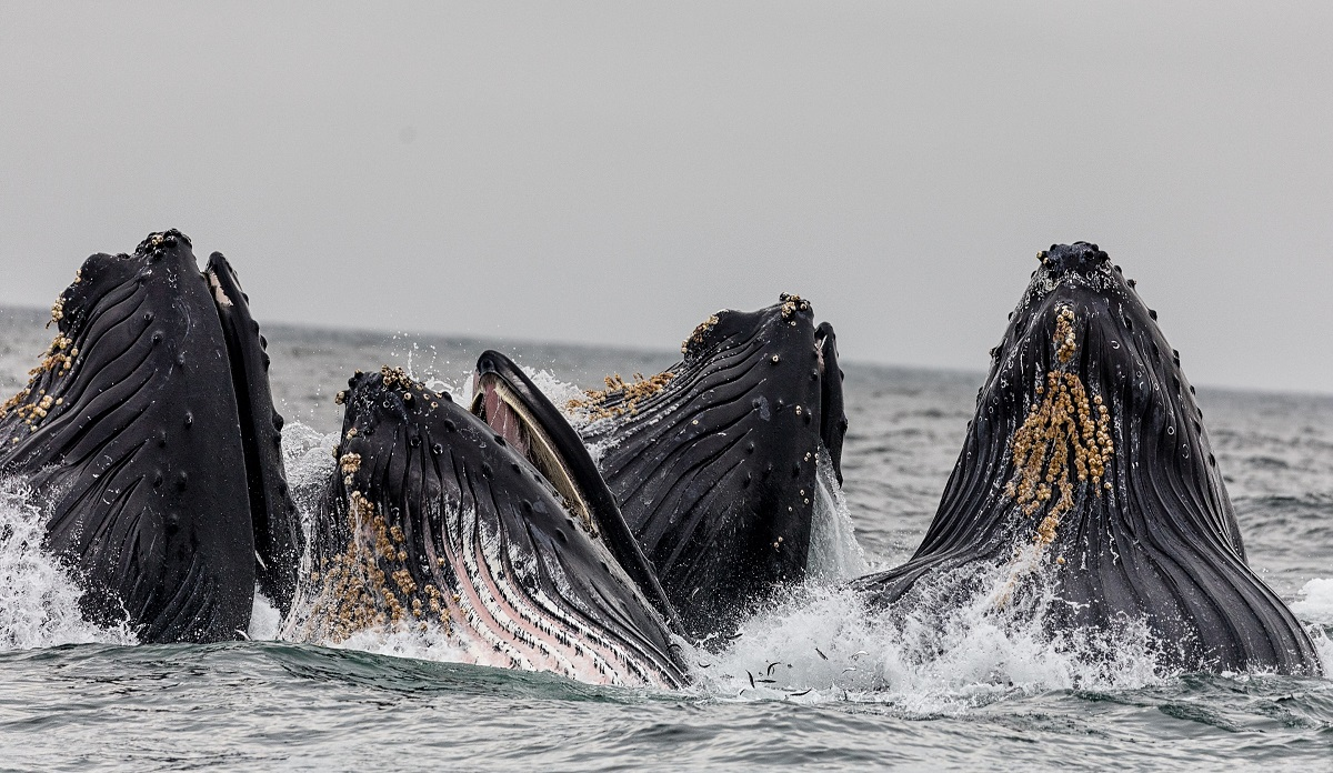 Humpback whales in the South Atlantic have recovered from near-extinction