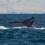 px Blue whale tail