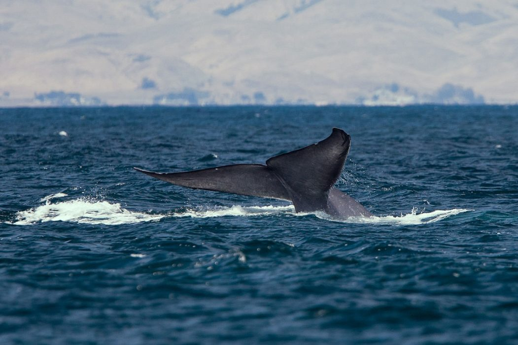 Blue whales seen in Antarctica for the first time since 1980s