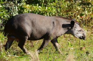 By Bernard DUPONT from FRANCE - Lowland Tapir (Tapirus terrestris) male, CC BY-SA 2.0, https://commons.wikimedia.org/w/index.php?curid=50340326