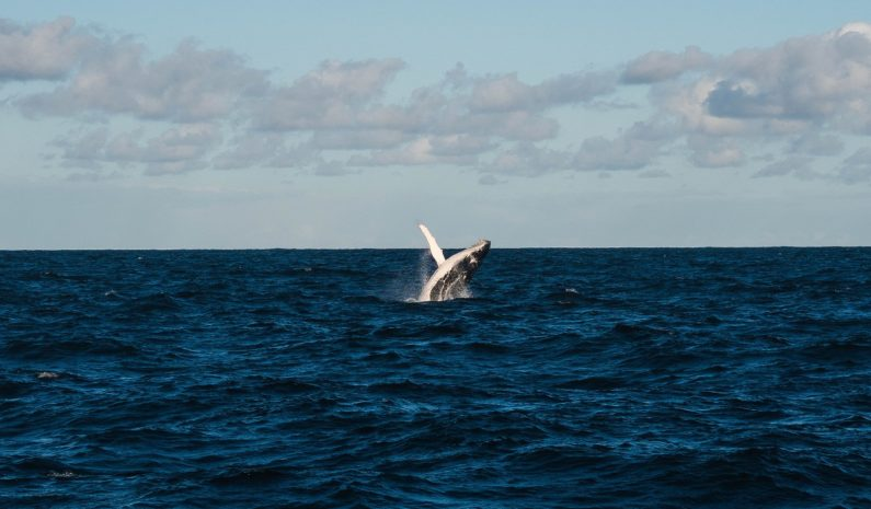 Iceland ends minke whale hunting for good