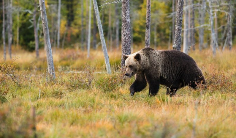 First brown bear for 150 years seen in national park in northern Spain
