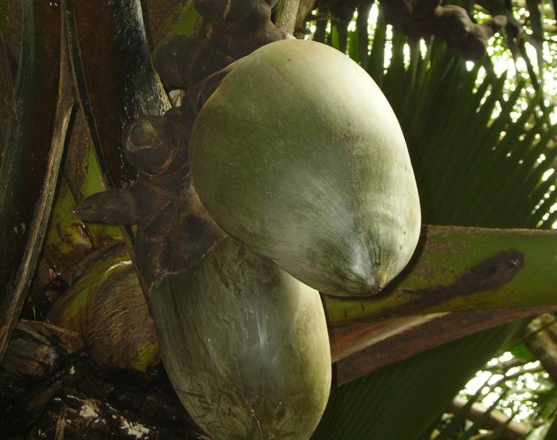 Arab traders begin trading coco de mer nuts from Seychelles