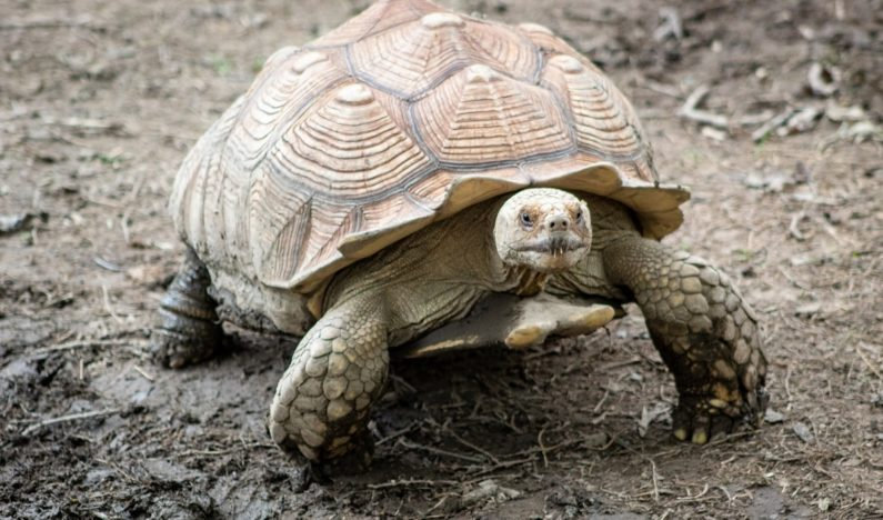 Giant tortoise breeding program in the Galapagos Islands saves species from brink of extinction