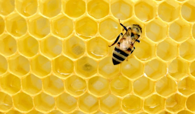 "Honeybee venom found to be ""extremely potent"" against breast cancer"
