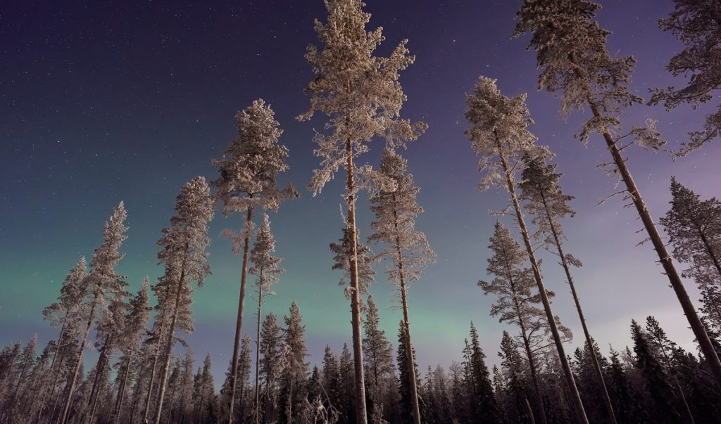 Trees with northern lights